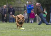 Zoey, a 3-year-old boxer-lab mix, chases after a disc in her first disc competition Sunday at South Park in view of her owner, Andrew Keinsley. Zoey was one of 30 dogs who competed in the annual Skyhoundz Disc Championship.