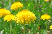 Dandelions can be pesky but can be easily controlled and even be valuable to the environment.