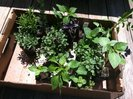 Herbs for our container garden.