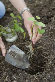 Sheila Reynolds prepares to plant a sweet potato slip in her garden in rural Douglas County.