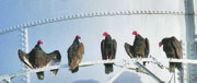 Turkey vultures rest on railings around the Marion water tower recently. Up to 200 of the birds have been counted roosting near the town's high school and downtown.