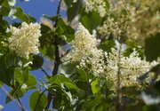 The Japanese tree lilac, seen here in a planter in downtown Lawrence, is a small tree that produces large, creamy white panicles on the tips of its vase-shaped crown and are blooming in time for summer.