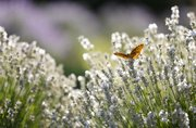 A butterfly rests on a sprig of pink lavender on Thursday, June 27, 2013, at Washington Creek Lavender Farm.