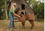 17-year-old Daisy Johnson of the Stull Busy Beaver 4-H club grooms her llama named Phoebe on Thursday July 25, 2013 on her family farm west of Lecompton. She and other area 4-H clubs members are getting set for this year's Douglas County Fair.