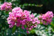 Crapemyrtle blossoms can add creamy red, brilliant magenta and peachy coral color to your garden.