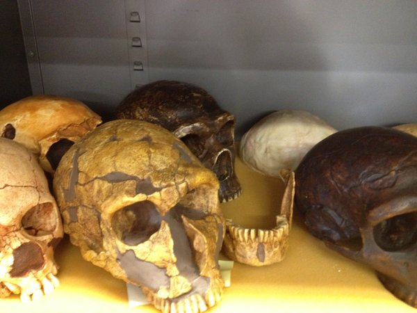 A collection of Neanderthal skull replicas from KU anthropology professor David Frayer's collection.