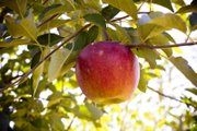 Apple picking at Vertacnik Orchard