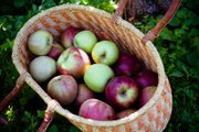 Apples from the Vertacnik Orchard sit in a basket.