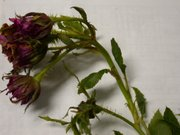 Plants infected with rose rosette disease typically produce tight clusters of stems at the end of branches known as witches' brooms, become excessively thorny, and produce red or mottled yellow foliage. The then kill the infected plant within one to five years.