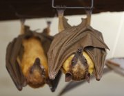 A couple of fruit bats, created by Bennett, hang together in his studio.