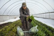 MAD Farm's Dan Phelps harvests some heads of lettuce in a hoop house garden in this file photo from January 2012.