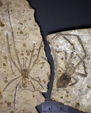 These spiders were about the size of a human hand and lived 165 million years ago, during the Middle Jurassic period. The male, Mongolarachne jurassica, and female, Nephila jurassica, were similar in size. Photo courtesy of Kansas University and Paul Selden.