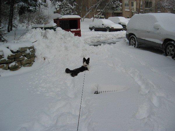 Our corgi struggles through a snow drift during the single winter we spent in Scranton, Pa.