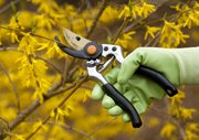 Certain kinds of shrubs, such as forsythia, can be pruned this time of year.