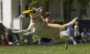 Herman, a three-year-old lab rescued from the Lawrence Humane Society, get some air under his paws as he catches a dog-disc during the Skyhoundz Disc Championship on Sunday at South Park in downtown Lawrence. Herman is owned by Lawrence resident David Workman.