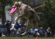 Eva, a 2-year-old Australian Shepherd, leaps high to catch a disc as spectators watch in the background during the Skyhoundz Disc Championship on Sunday at South Park.