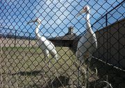Siberian cranes at the International Crane Foundation in Baraboo, WI. in their pens.