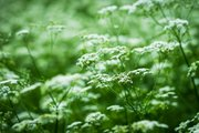 Hemlock has dissected leaves that resemble those of parsley and umbrella-shaped clusters of small, white flowers that are similar to flower clusters produced by many other species in the parsley family.