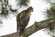 A young red tail hawk perches in a pine tree just north of Memorial Stadium where a nest rests on top of a light pole.