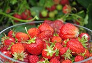 If you're looking to grow a successful strawberry crop next year, begin making preparations now.