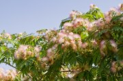 Mimosa trees in the Lawrence area are in full glory right now with their unrivaled fluffy, fragrant pink blossoms.