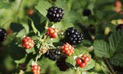 Wild blackberries are a July treat, but get them early before the heat shrinks them and they lose their flavor.