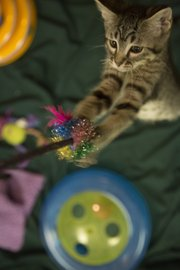 A kitten up for adoption plays with a toy July 22 at the Lawrence Humane Society.