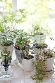 Various herbs raised in a kitchen windowsill.