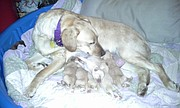 Penny, the pregnant yellow Lab mix who stole thousands of Lawrence hearts in February when she went missing from her humane society foster parents, had her puppies in early March.