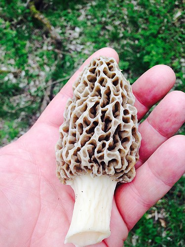 A morel from one of T.K. Peterson's recent mushroom-hunting jaunts.