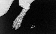 An X-ray image of Hope the dog's foot filled with shotgun pellets after a good Samaritan found the injured animal July 30 and took her for treatment at the Lawrence Humane Society.
