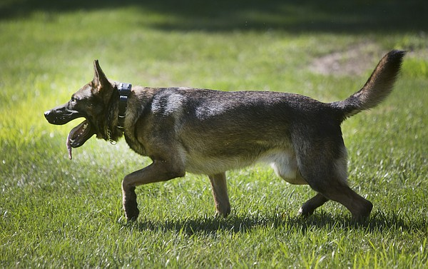 C.B., one of two dogs owned by the Lawrence Police Department, trains Aug. 13.