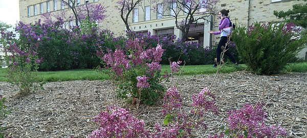 A Kansas University student walks next to new lilac bushes in bloom behind Fraser Hall on Tuesday, April 5, 2016. While some old bushes near the building remain, the lilacs along Lilac Lane were torn out and replanted with dwarf varieties in fall 2015.