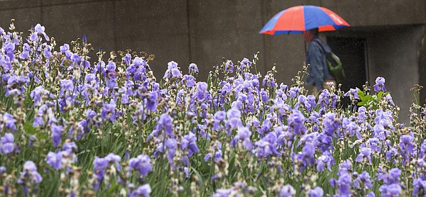 Rain falls on flowers on the University of Kansas campus Monday, May 16, 2016, as a passerby with an umbrella walks in the background.