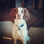 Arlo, a Brittany Spaniel, was shot and killed on Sept. 28 by a 65-year-old man with a pellet gun, said Douglas County Sheriff's Office Sgt. Kristen Dymacek.