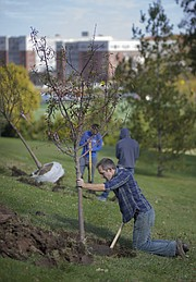 University of Kansas facilities worker Shawn Harding works to position a crabapple tree upright within a hole on Friday, Oct. 27, 2017 next to the Campanile on the campus of the University of Kansas. Harding and others worked to plant a total of 24 trees at the top of the hill just off of Memorial Drive.
