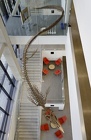 """A 45-foot-long replica of a fossilized mosasaur hangs in the atrium of the new Earth, Energy and Environment Center at the University of Kansas and over glass-enclosed """"floating"""" meeting rooms and collaborative nooks for students and faculty offering views of Allen Fieldhouse and KU's Central District."""