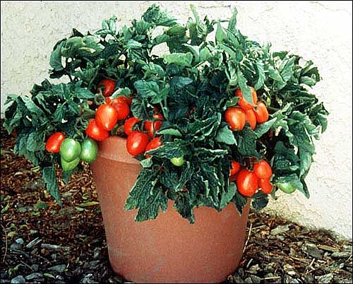 Image result for Window Box Roma Tomato in container